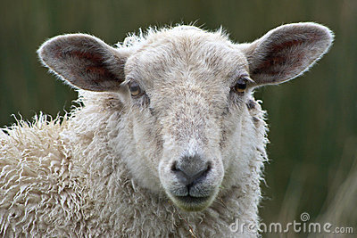 Sheep Close Up Stock Image Image 11545961
