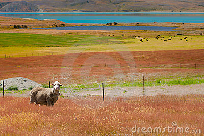 Sheep and Colors
