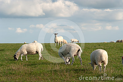Sheep in Cornwall