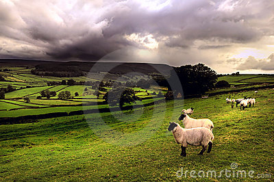 Sheep in a Dales landscape