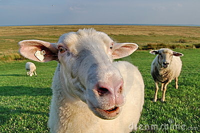 Sheep on