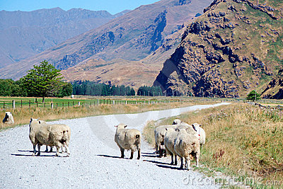Sheep on dirt road