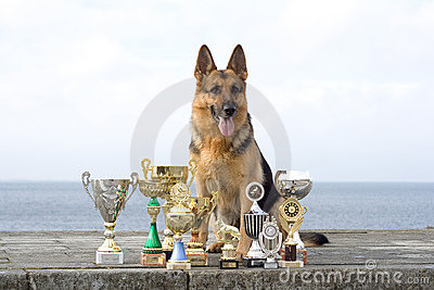 Sheep-dog with awards