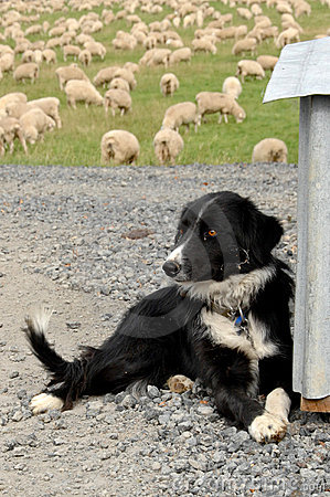 Sheep dog on farm