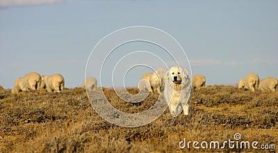 White sheep dog protecting flock of sheep, southwest Wyoming.