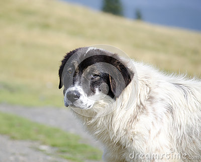Romanian sheep dog