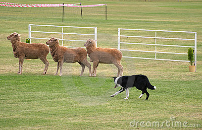 Sheep dog trials sheepdog