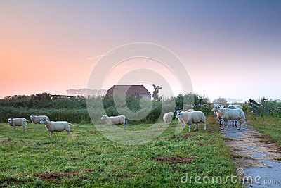 Sheep on Dutch farmland by farmhouse