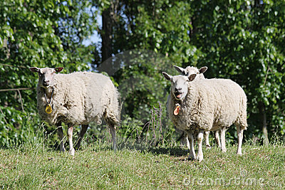 Sheep in the Dutch province of Zeeland in Holland