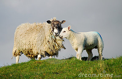 Sheep and Easter lamb