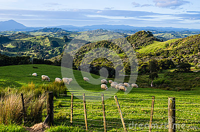 Sheep eating grass on the mountains