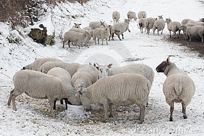 Sheep eating in snow covered landscape