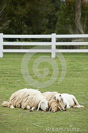 Sheep family sleep together