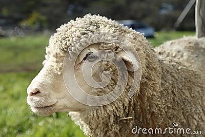 Sheep in Farm