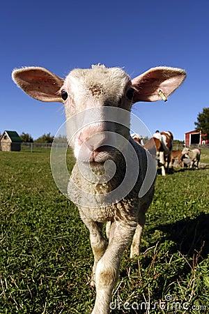 Free Sheep - Farm Animals Royalty Free Stock Image - 54286