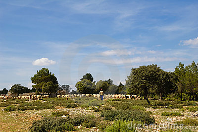 Sheep farming in Spain