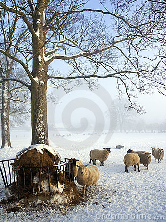 Sheep Farming - Winter Snow - England