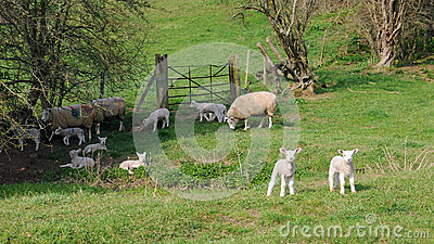 Sheep on Farmland