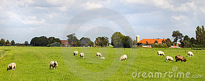 Sheep and farms in Dutch landscape
