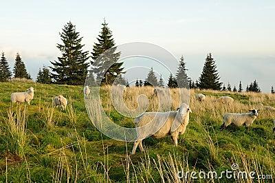 Sheep feeding on grass