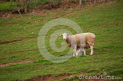 Sheep in the Field