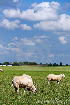 Sheep in flat landscape