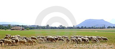 Sheep flock grazing meadow in grass field