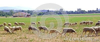 Sheep flock grazing meadow in grass field
