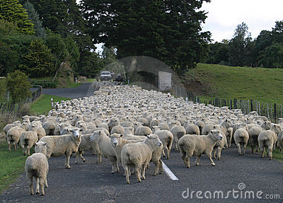 Sheep Flock Herd on road