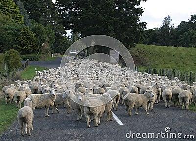 Sheep Flock Herd on road