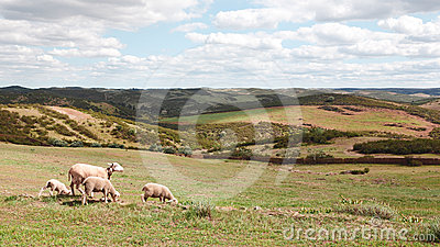 Sheep flock in Mertola alentejo, portugal