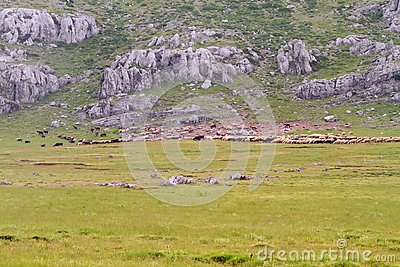 Sheep Flock on a Mountain Meadow