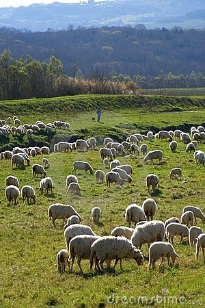 Sheep flock and shepherd