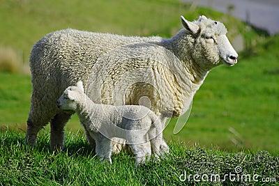 Sheep And Glassland