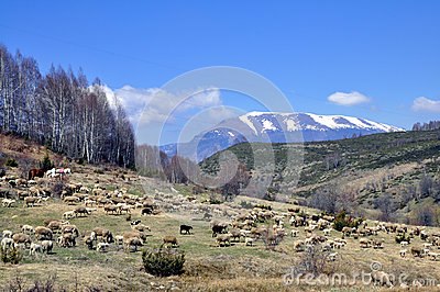 Sheep go on the mountain pasture.