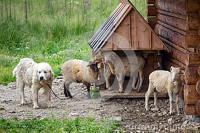 Sheep and goats under wooden hut in Tatra mountains
