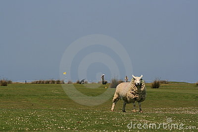 Sheep on a golf links