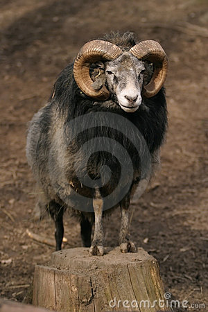 Free Sheep, Gotland Sheep - Ram Royalty Free Stock Image - 1668706