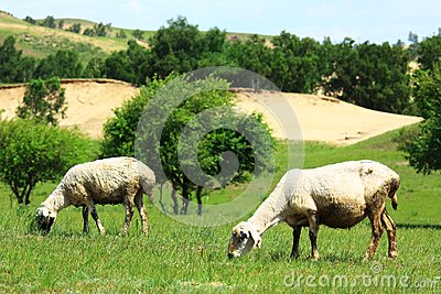 Sheep in the grassland