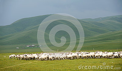 Sheep in grassland