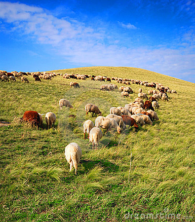 Free Sheep Grazing Stock Photos - 3432263