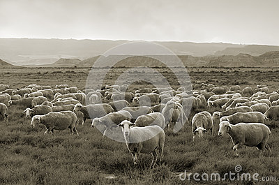 Sheep grazing at Bardenas desert