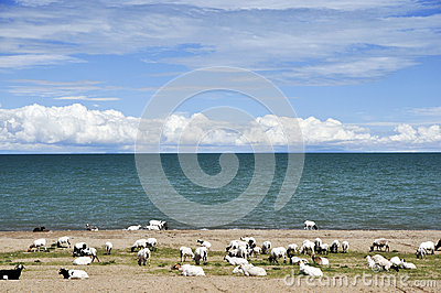 Sheep grazing by blue lake