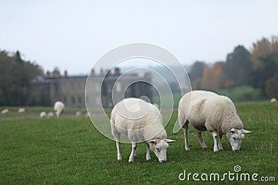 Sheep Grazing at Calke Abbey