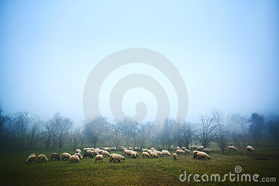 Sheep grazing at dawn