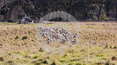 Sheep grazing in farm near Oberon. NSW. Australia.