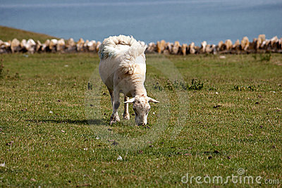 A sheep grazing in a field