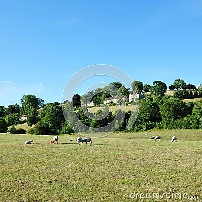 Sheep Grazing in a Green Field