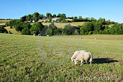 Sheep Grazing in a Green Field