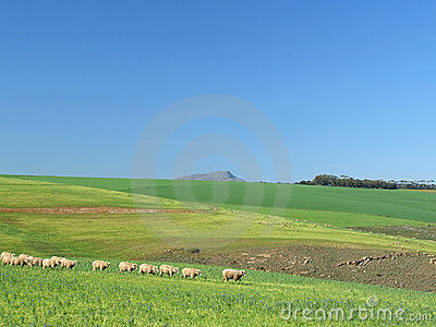 Sheep Grazing in a Green Field - Following the Leader